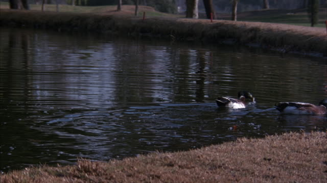 vidéos et rushes de medium angle of edge of lake or pond on golf course. see two ducks in water by edge. - balle de golf