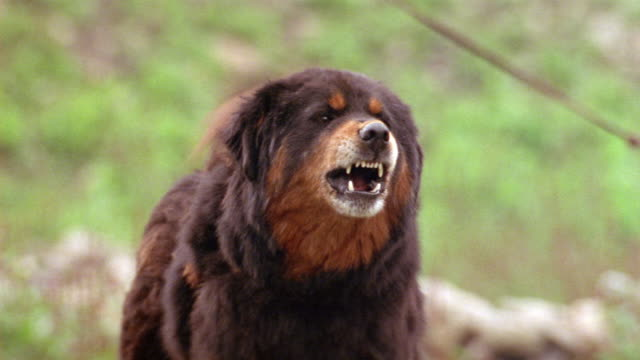 HAND HELD MEDIUM ANGLE OF LARGE BROWN AND BLACK DOG BARKING AT POV. GROWLING OR SNARLING. DOG IN FOREST OR FIELD OR YARD.
