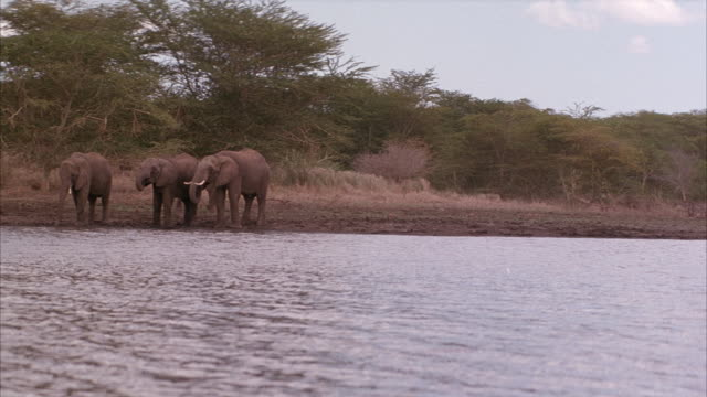 MEDIUM ANGLE, THREE ELEPHANTS NEAR BANKS OF WATER, COULD BE RIVER. FOURTH ELEPHANT WALKS FROM LEFT AND JOINS OTHERS. SEE ELEPHANTS DRINK FROM WATER. SEE TREES AND VEGETATION IN BACKGROUND.