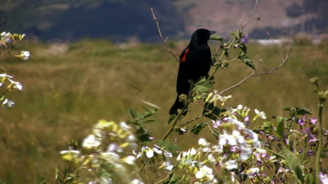 red winged blackird (hd) - red winged blackbird stock videos & royalty-free footage