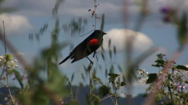 blackbird view (hd) - red winged blackbird stock videos & royalty-free footage