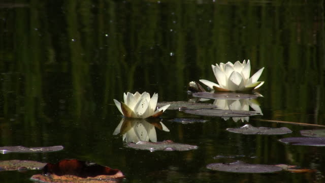 vídeos de stock, filmes e b-roll de branco lotus (hd - organismo aquático