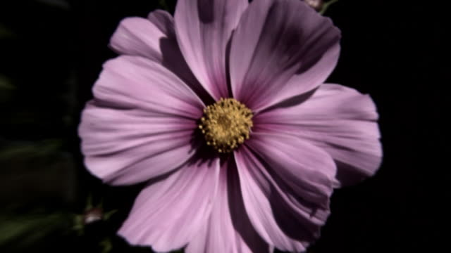 flower to color (hd) - grayscale stock videos and b-roll footage