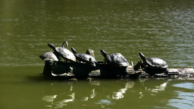 vídeos de stock e filmes b-roll de tartarugas (hd - cinco animais