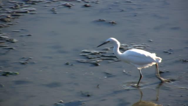 beautiful bird v.7 (hd) - water bird stock videos & royalty-free footage