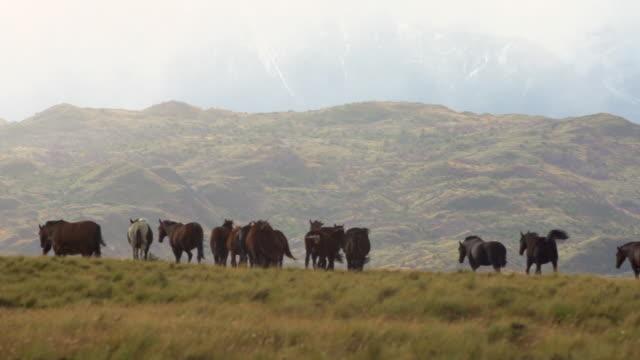 patagonia. horses - plain stock videos & royalty-free footage
