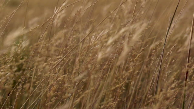 patagonia. wheat spikes in the wind - ear of wheat stock videos and b-roll footage