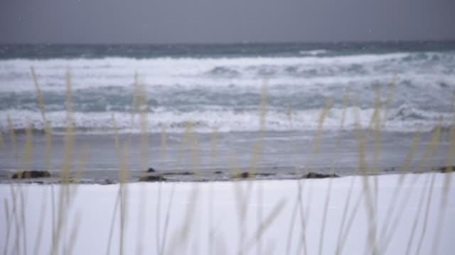 lofoten islands. wheat spikes in a snowy beach trasfoco - aptenia stock-videos und b-roll-filmmaterial