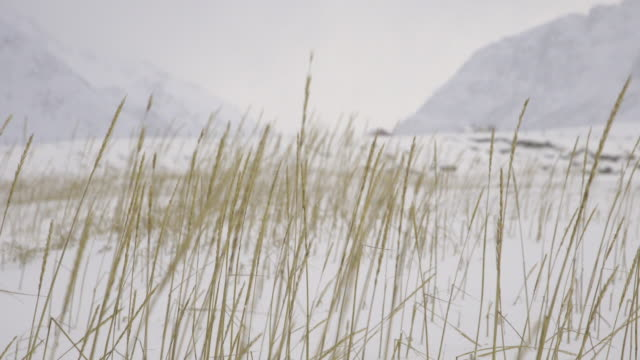 lofoten islands. wheat spikes in a snowy field trasfoco - traditionally norwegian stock videos & royalty-free footage