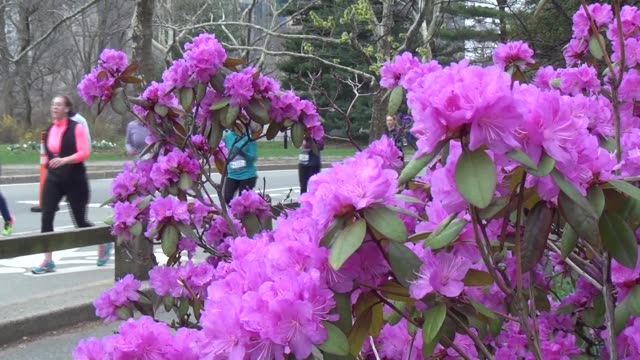 central park flowers in bloom and runners in race - salmini stock videos & royalty-free footage