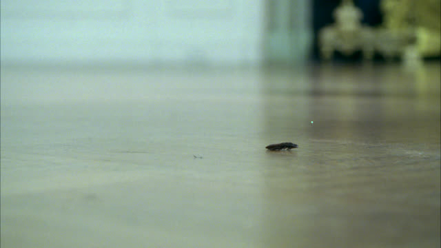close angle of cockroach on wood floor. could be apartment. close angle of woman's high heeled snake skin shoes. woman steps on insect. - ゴキブリ点の映像素材/bロール