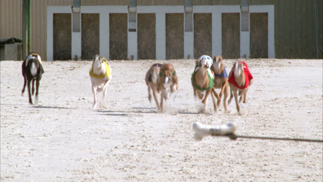 vídeos y material grabado en eventos de stock de pan right to left of greyhound dogs running out of gate at racing track. gambling. - apuestas deportivas