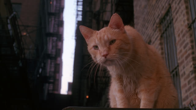 CLOSE ANGLE OF ORANGE TABBY CAT IN ALLEY BETWEEN TWO HIGH RISE BRICK APARTMENT BUILDINGS.