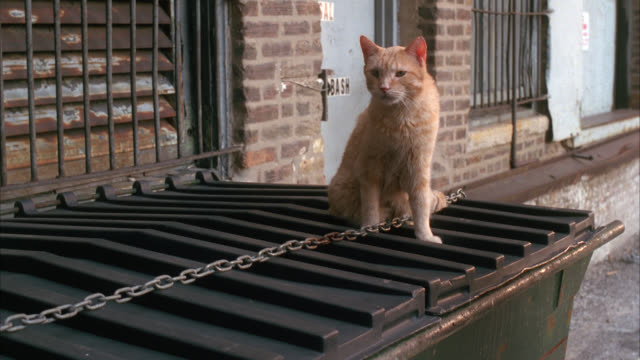 CLOSE ANGLE OF ORANGE TABBY CAT ON TOP OF DUMPSTER.