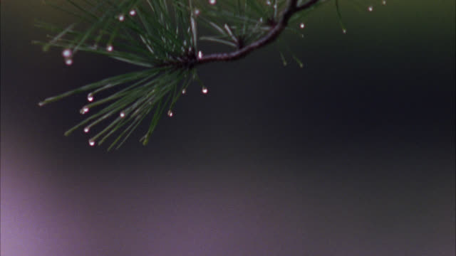 pan down from pine tree branch and pine needles with drops of water to rain falling on surface of pond or lake. - pine stock videos & royalty-free footage
