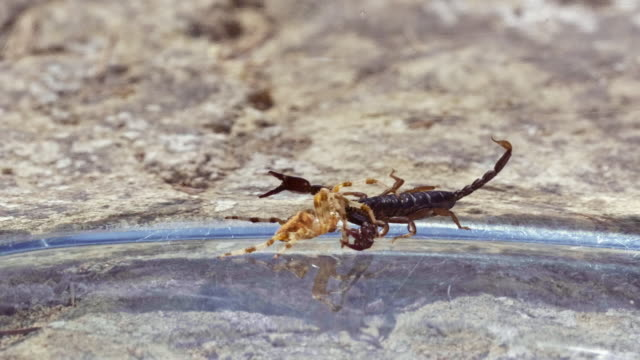 scorpion battles spider - arachnophobia stock videos & royalty-free footage