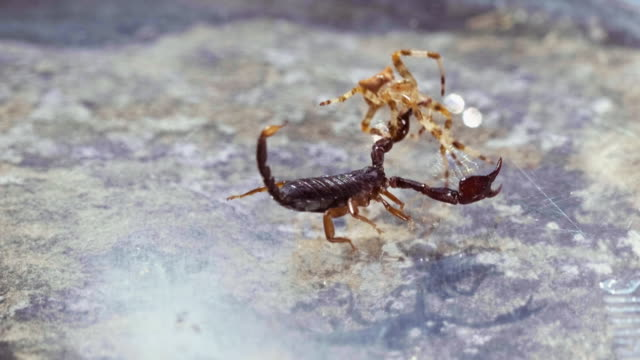 scorpion battles spider - stechen stock-videos und b-roll-filmmaterial