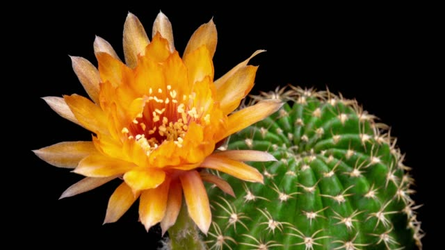 blooming cactus flower lobivia hybrid 4k t/l - floral pattern stock videos and b-roll footage