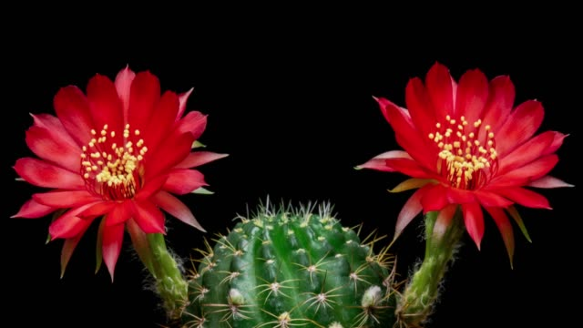 blooming cactus flower red lobivia hybrid 4k t/l - cactus stock videos and b-roll footage