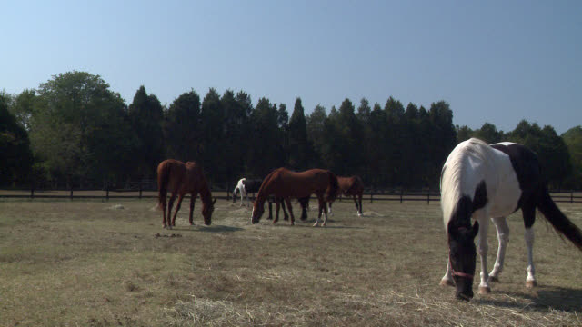 WIDE ANGLE OF HORSES EATING GRASS OR HAY IN PASTURE, FIELD OR MEADOW. COULD BE ON FARM. COUNTRYSIDE OR RURAL AREA.