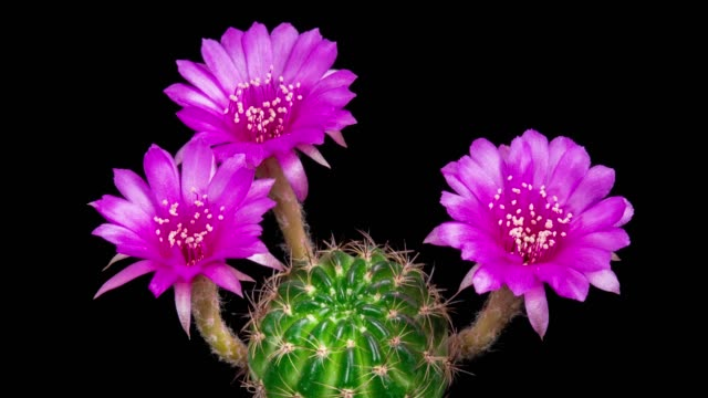 blooming cactus flower pink lobivia hybrid 4k t/l - three objects stock videos & royalty-free footage