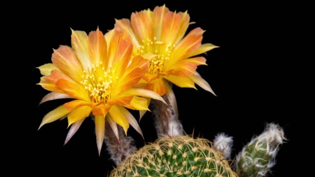 blooming cactus flower orange lobivia hybrid 4k t/l - two objects stock videos and b-roll footage