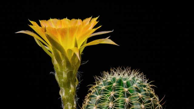 blooming cactus flower lobivia yellow colour 4k t/l - barrel cactus stock videos and b-roll footage