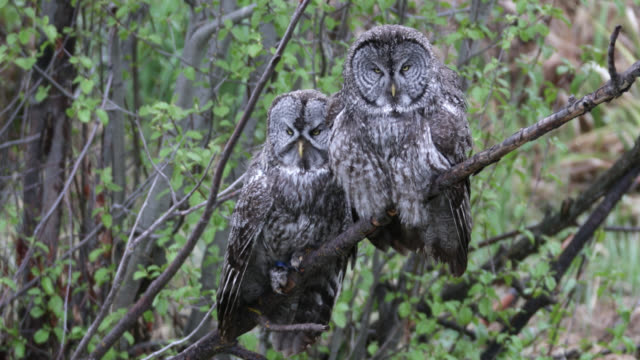 ts (slow motion) 4k  shot of great gray owls (strix nebulosa) sitting in a tree preening - owl stock videos & royalty-free footage