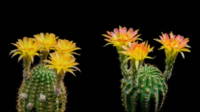 blooming cactus flowers lobivia two-tone colour 4k t/l - barrel cactus stock videos and b-roll footage