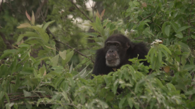 chimpanzee (pan troglodytes) prepares bed in tree, senegal - chimpanzee stock videos & royalty-free footage