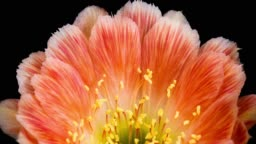 BLOOMING CACTUS FLOWER LOBIVIA TWO-TONE COLOUR 4K T/L