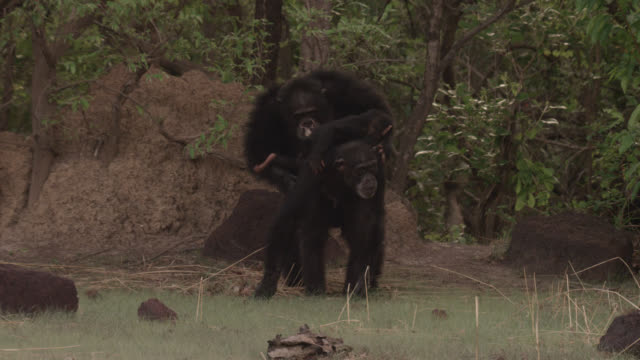 male chimpanzee (pan troglodytes) thrashes branches and mates with female carrying baby, senegal - schimpansen gattung stock-videos und b-roll-filmmaterial