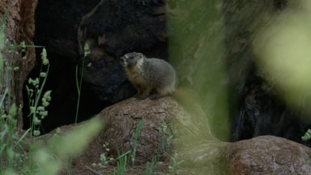 vídeos de stock, filmes e b-roll de marmot_gets_on_rock_looks_around_yosemite - parque nacional de yosemite
