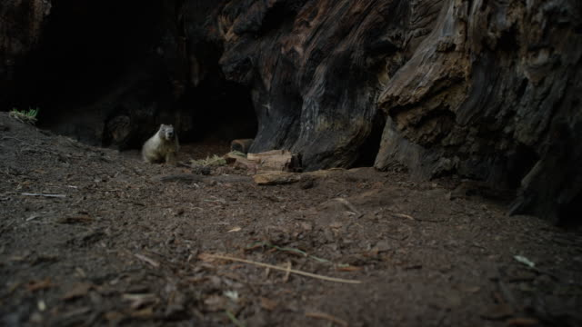 marmots_emerge_go_back_in_sequoia_ms_giant_forest_yosemite - giant sequoia stock videos and b-roll footage