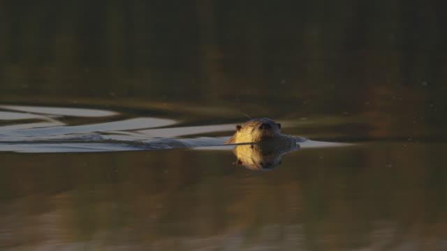 vídeos y material grabado en eventos de stock de otter_swimming_dives_under_water_ms_yosemite - nutria de río