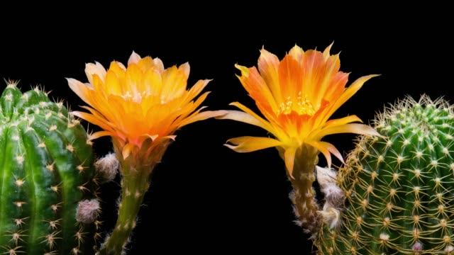 blooming cactus flowers lobivia two-tone colour 4k t/l - blossom stock videos & royalty-free footage
