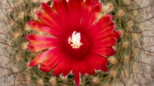 vídeos y material grabado en eventos de stock de flor cactus flor parodia herzogiana 4k t/l - lapso de tiempo de flor abriéndose
