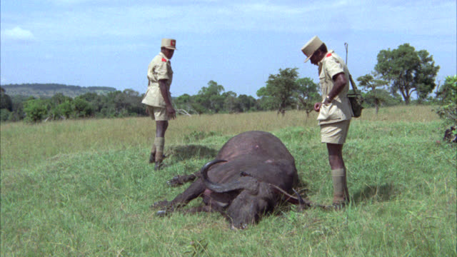 wide angle of a man laying face down on the ground near a dead water buffalo carcass. two men, could be soldiers or national park rangers, with a gun, rifle or shotgun inspecting the dead water buffalo. dead animal. grassland, plains, veldts. serengeti. - dead animal stock videos & royalty-free footage