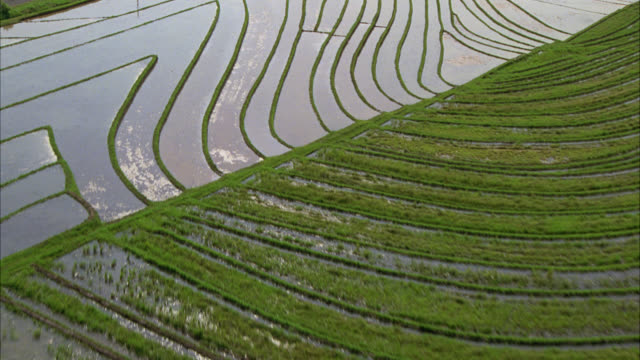 aerial over rice paddy fields. could be countryside or farmland. tropical. palm trees visible. country road or road runs along fields. - rice paddy stock videos and b-roll footage
