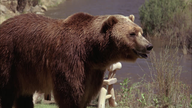 medium angle of grizzly bear standing on riverbank. could be wyoming, actually in new mexico. river in bg. - hooved animal stock videos and b-roll footage