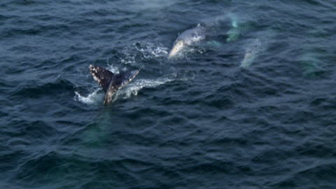 aerial shot of small pod of whales swimming in ocean. pov circles as whales surface and dive below. - santa barbara california stock videos & royalty-free footage