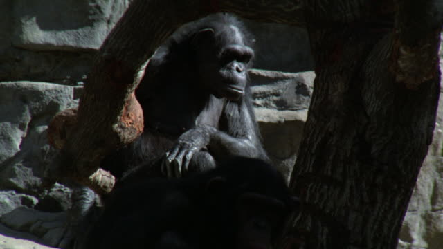 stockvideo's en b-roll-footage met medium angle of chimps sitting on rocks next to bare tree. could be in nature or at zoo. one monkey eats. - bare tree