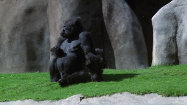 medium angle of black gorilla sitting on grassy area basking in sun. see other gorilla run from right to left of screen in bg. could be los angeles zoo. - 動物園点の映像素材/bロール