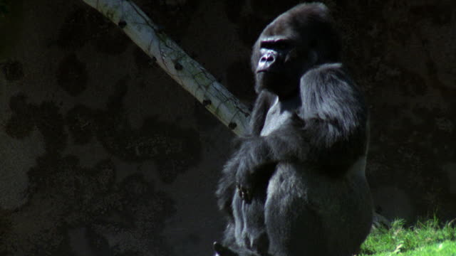 medium angle of black gorilla sit down on grass outside of cave. could be at los angeles zoo. - 哺乳類点の映像素材/bロール