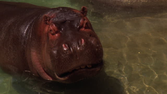 medium angle of hippo or hippopotamus in pond at zoo. pan up to woman in golf cart. - 1989 stock videos and b-roll footage