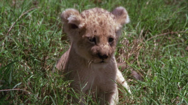 CU / LION CUB RELAXING IN GRASSY AREA
