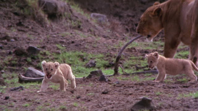 clearing with dirt and grass / lioness and two lion cubs play / lioness chews on fallen branch / lion cubs continue to play / lioness cleans them - lion cub stock videos & royalty-free footage