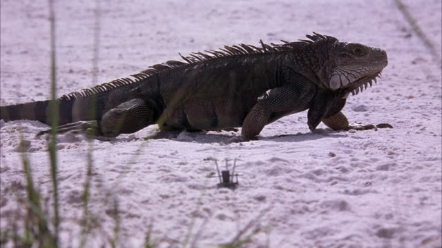 close angle of green iguana walking on white sand from left to right. could be a beach or desert. metal trigger mechanism of land mines extend above sand. grass in foreground. - land mine stock videos and b-roll footage