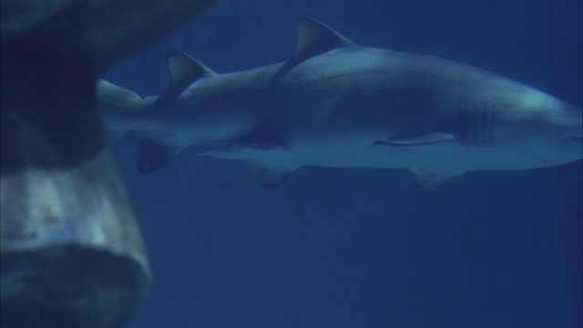 medium angle underwater of right side of grey nurse shark, aka sand tiger shark, swimming from l-r out from behind rock in large aquarium fish tank. - sand tiger shark stock videos and b-roll footage