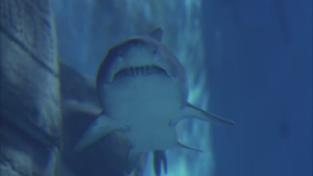 up angle, close angle underwater of front side of grey nurse shark, aka sand tiger shark, exposing its sharp teeth. shark begins to swim to the right in large aquarium fish tank with rock in bg. - sand tiger shark stock videos and b-roll footage